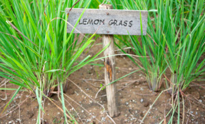 lemon grass plants