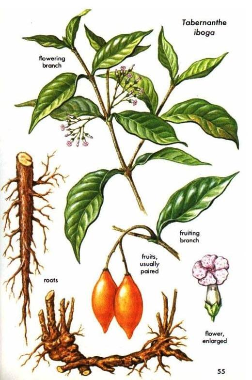 tabernathe iboga plant description
