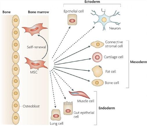 What are Mesenchymal Stem Cells